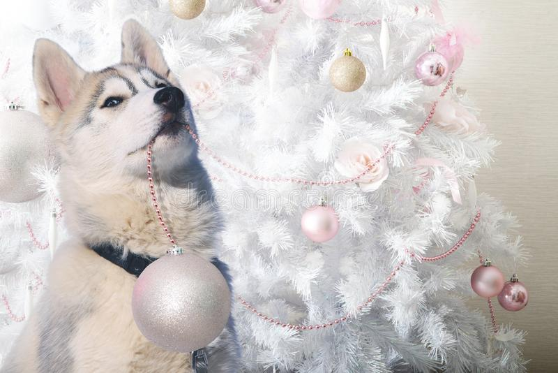 Lustiger Welpenschlittenhund hilft, den Weihnachtsbaum zu verzieren stockfoto