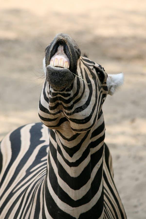 Lustiger Zebra stockfotos