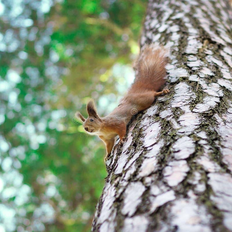 Download Lustiges Eichhörnchen stockfoto. Bild von wildnis, kiefer - 27731038