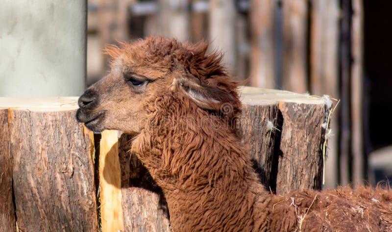 Lustiges erwachsenes braunes Lama mit natürlichem Hintergrund des starken Pelzes lizenzfreies stockfoto