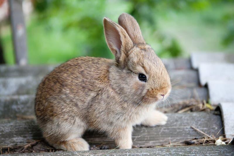 Lustiges Gesicht des kleinen netten Kaninchens, flaumiges braunes Häschen auf grauem Steinhintergrund Weichzeichnung, flache Schä stockfotografie