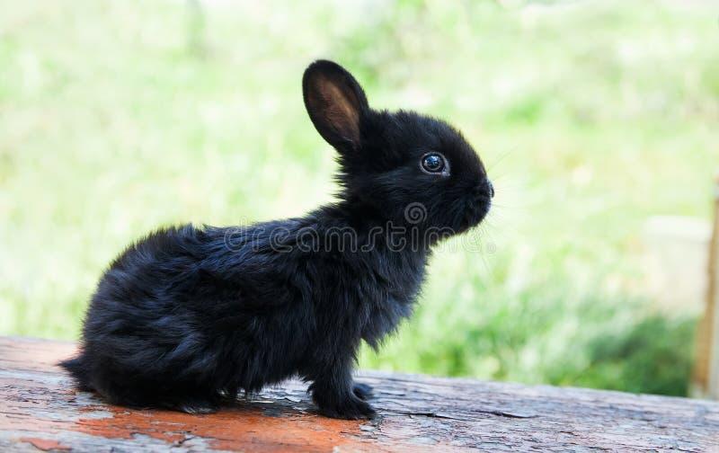 Lustiges Gesicht des kleinen netten Kaninchens, flaumiges schwarzes Häschen auf hölzernem Hintergrund Weichzeichnung, flache Schä lizenzfreies stockfoto