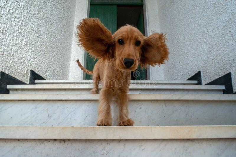 Lustiges Hündchencocker spaniel-Porträt mit den verbreiteten Ohren stockfotografie