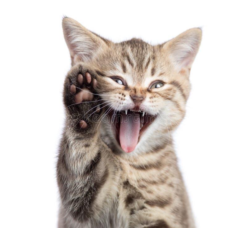Lustiges Katzenporträt mit offenem Mund und angehobenen der Tatze lokalisiert stockfotos