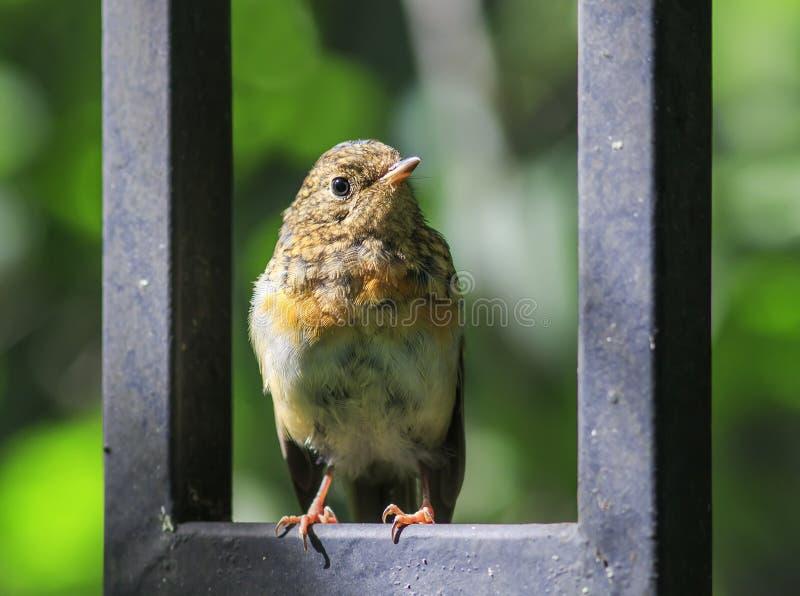 Lustiges kleines orange Vogel Robin-Küken sitzt auf dem blauen hölzernen F.E. lizenzfreie stockfotografie