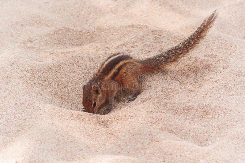 Lustiges kleines Streifenhörnchen auf Sand-Strand stockfotos