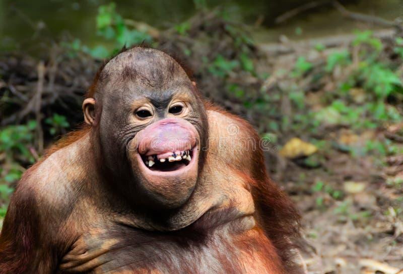 Lustiges Lächelnorang-utan Affeporträt stockfotos