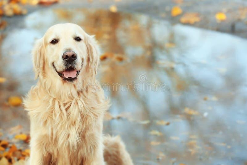 Lustiges labrador retriever im Herbstpark stockbilder