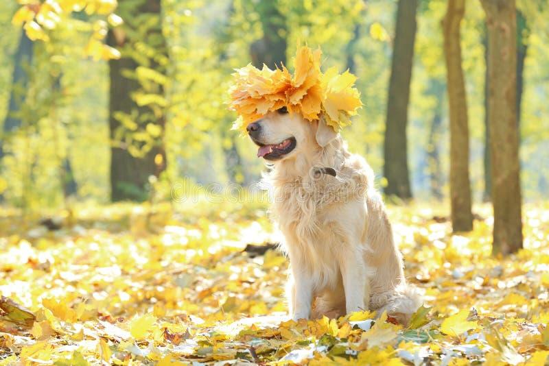 Lustiges labrador retriever mit dem Chaplet gemacht lizenzfreie stockfotos