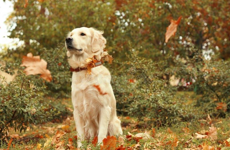 Lustiges Labrador retriever und Herbstlaub lizenzfreies stockfoto