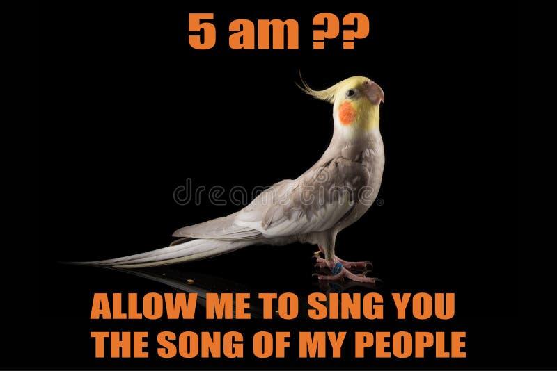 Lustiges Papagei meme, Cockatiel-Porträt, 5 sind? , Lassen Sie mich singen Ihnen das Lied meiner Leute kühle memes und Zitate stockbild
