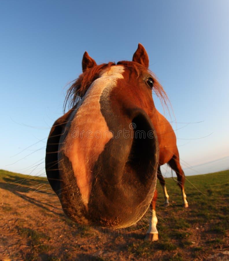 Lustiges Pferd durch fisheye Objektiv und blauen Himmel lizenzfreie stockfotos