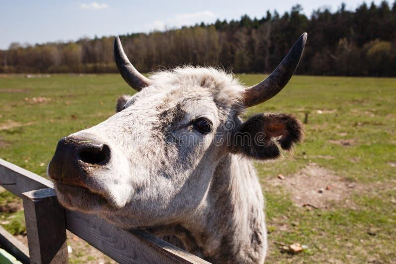 Lustiges Porträt der weißen Kuh auf dem Bauernhof stockbilder
