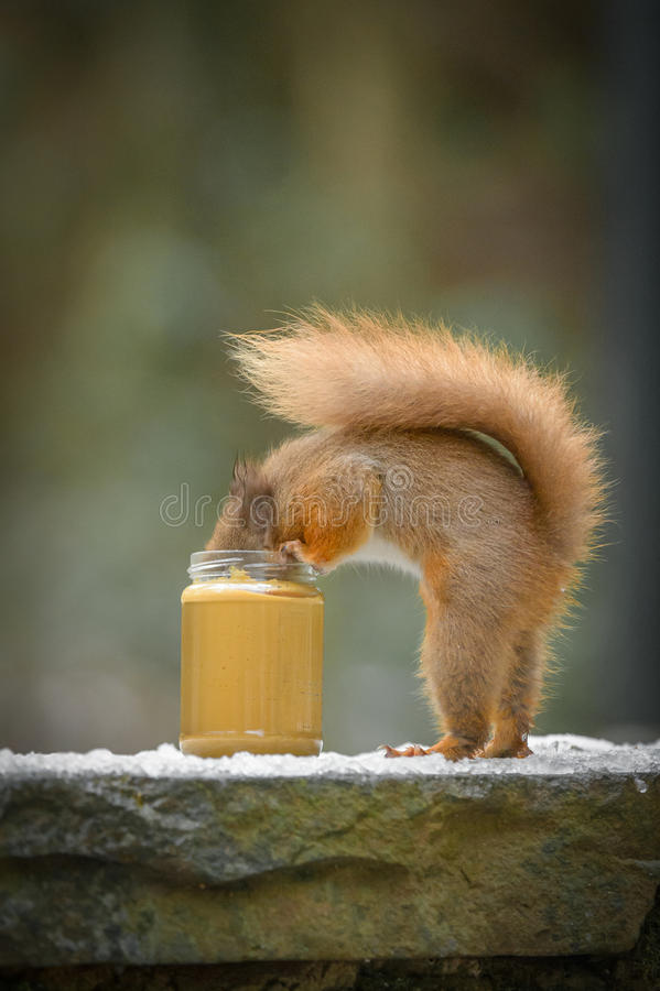 Lustiges rotes Eichhörnchen stockfotos