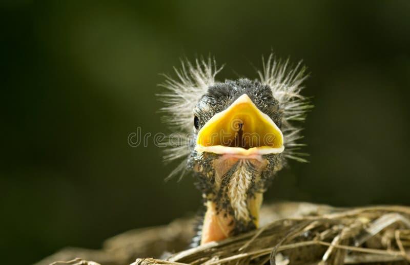 Lustiges Schätzchen Robin lizenzfreies stockbild