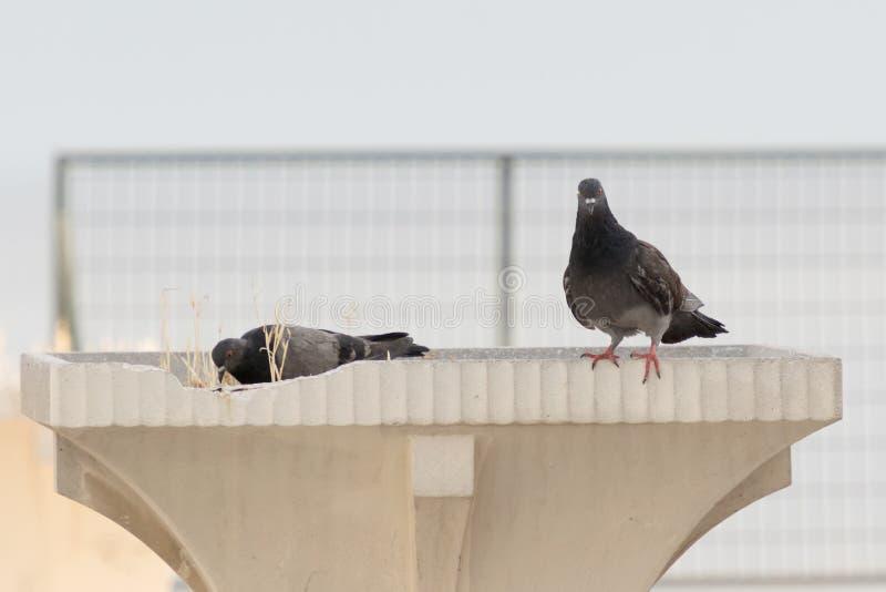 Lustiges schauendes Taubenporträt stockbild