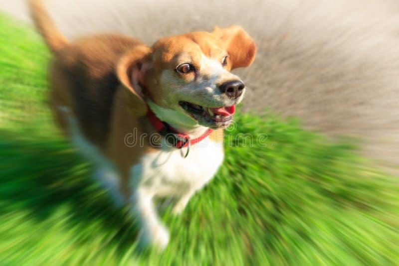 Lustiges Spürhundhündchen mit überraschtem Gesichtsausdruck stockbilder