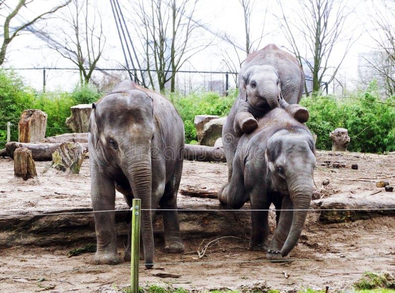 Lustiges spielerisches Baby-asiatischer Elefant im Zoo stockbilder