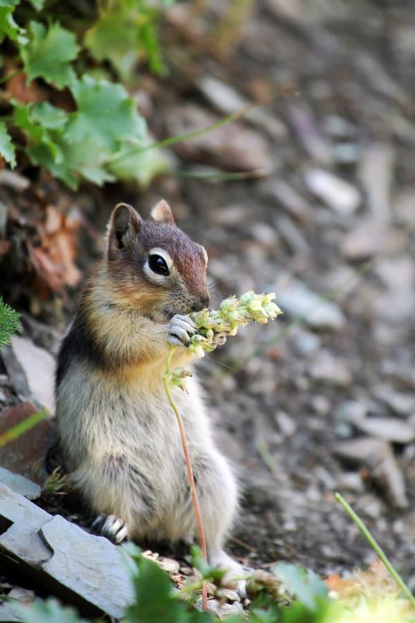 Lustiges Streifenhörnchen stockbilder