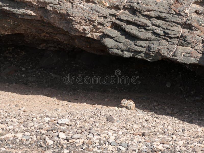 Lustiges Tier des Streifenhörnchens stockbild