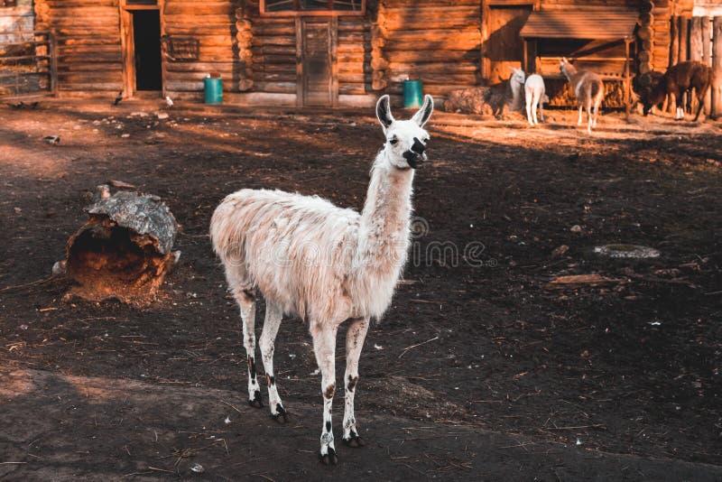 Lustiges weißes Lama steht im zoo& x27; s-Vogelhaus und -schauung nach vorn, sonniger Tag des Herbstes, Kaliningrad-Region stockbild