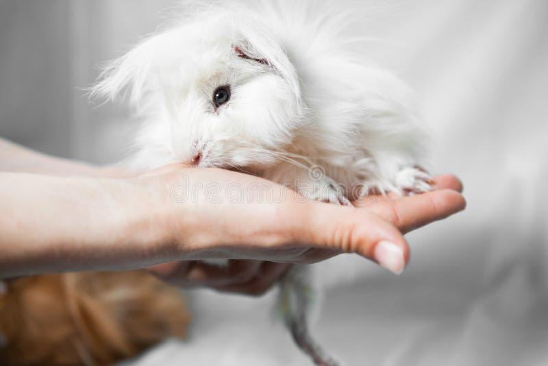 Lustiges weißes Pelzmeerschweinchen in den Händen auf Weiß lizenzfreie stockbilder