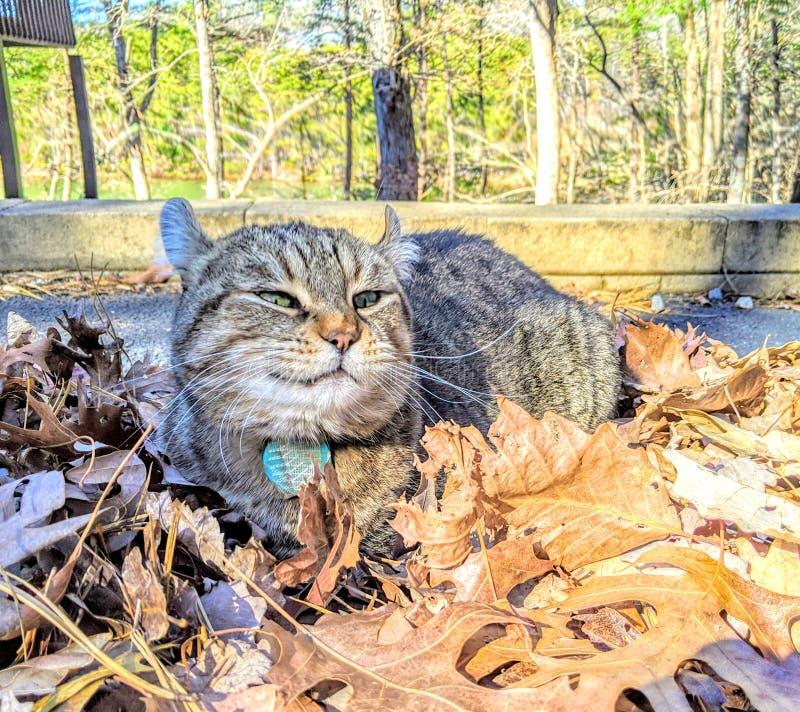 Lustigt katt i Leaves royaltyfri foto