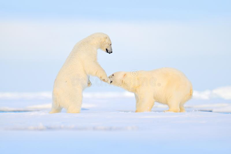Luta da dança do urso polar no gelo Dois ursos amam no gelo de derivação com neve, animais brancos no habitat da natureza, Svalba foto de stock