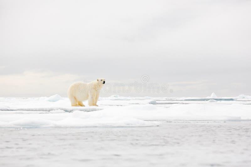 Luta da dança do urso polar no gelo Dois ursos amam no gelo de derivação com neve, animais brancos no habitat da natureza, Svalba fotos de stock