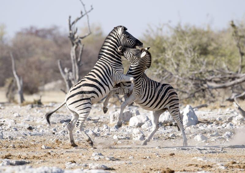 Luta da zebra fotografia de stock royalty free