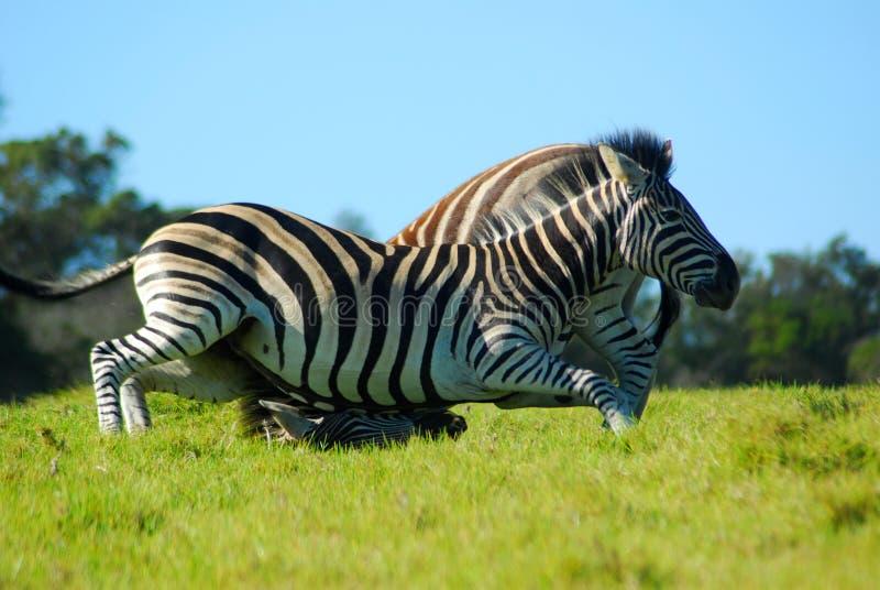 Luta da zebra imagens de stock royalty free