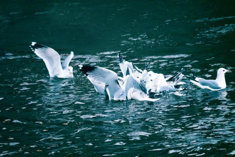 Luta das gaivotas para o alimento fotografia de stock