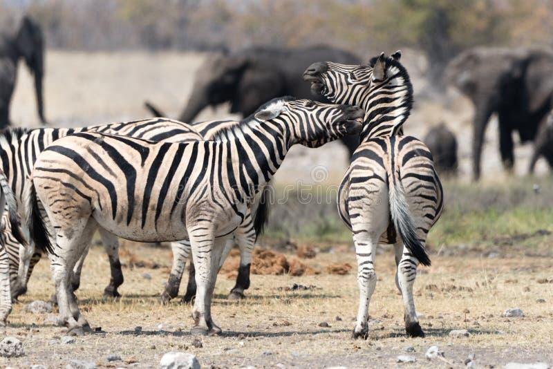 Luta das zebras imagens de stock