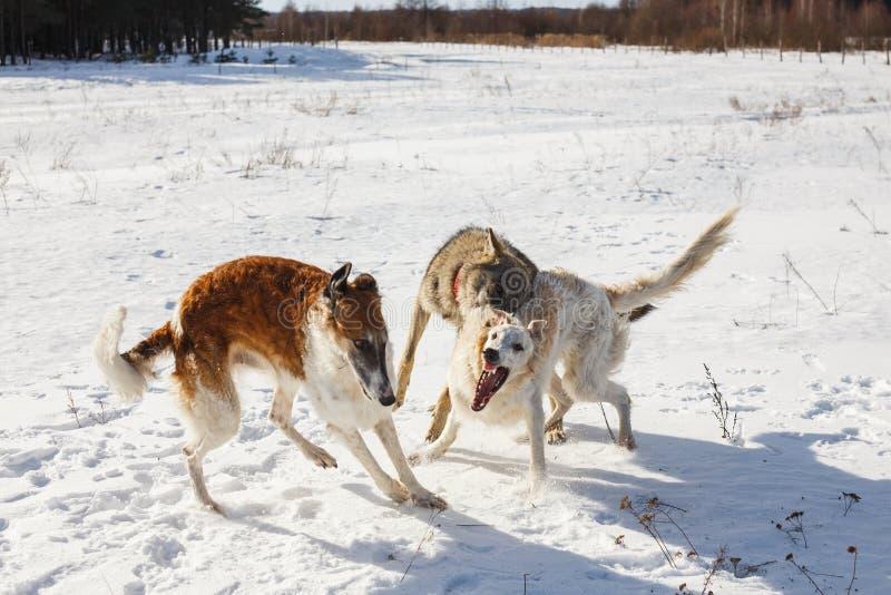 Luta de dois cães de caça de um cão e de um lobo cinzento em um campo nevado fotografia de stock royalty free