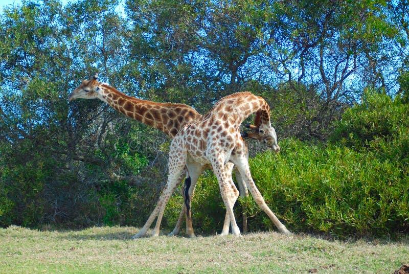 Luta de touros do Giraffe fotografia de stock
