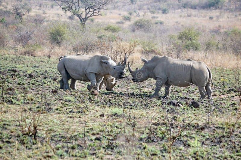 Luta de touros do rinoceronte em África do Sul imagens de stock