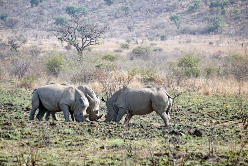 Luta de touros do rinoceronte em África do Sul fotos de stock