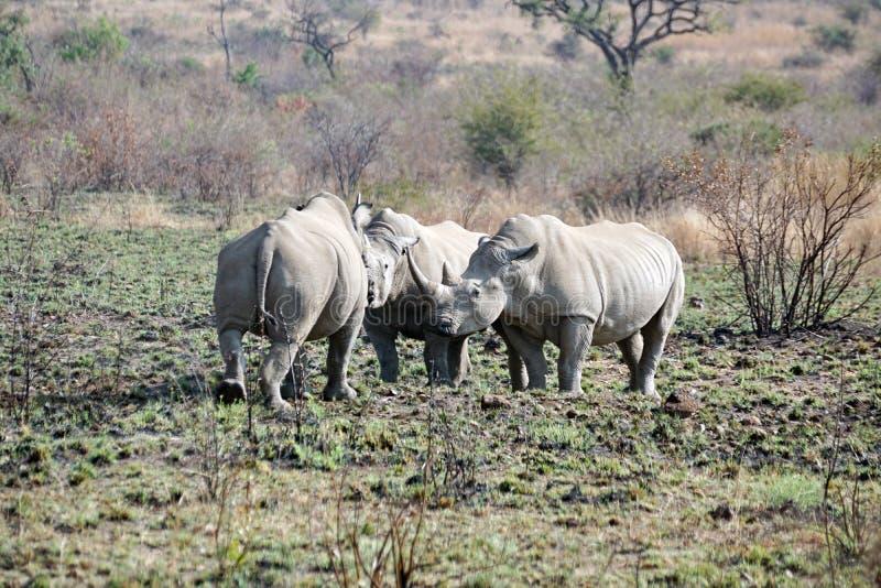 Luta de touros do rinoceronte em África do Sul fotografia de stock royalty free