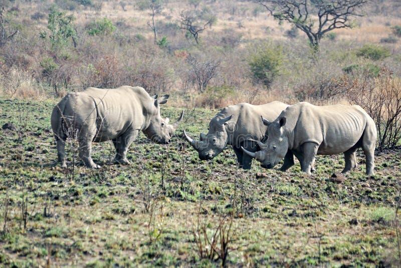 Luta de touros do rinoceronte em África do Sul fotos de stock royalty free