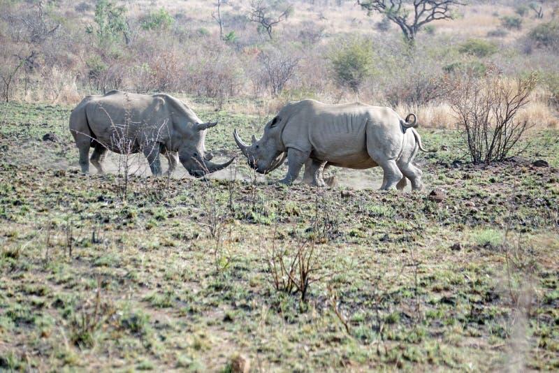 Luta de touros do rinoceronte em África do Sul imagem de stock royalty free