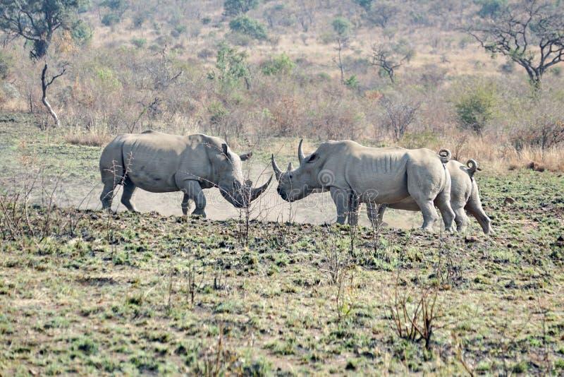 Luta de touros do rinoceronte em África do Sul imagens de stock royalty free