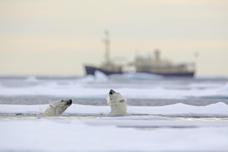 Luta de ursos polares na água entre o gelo de tração com neve, microplaqueta borrada do cruzeiro no fundo, Svalbard, Noruega fotos de stock