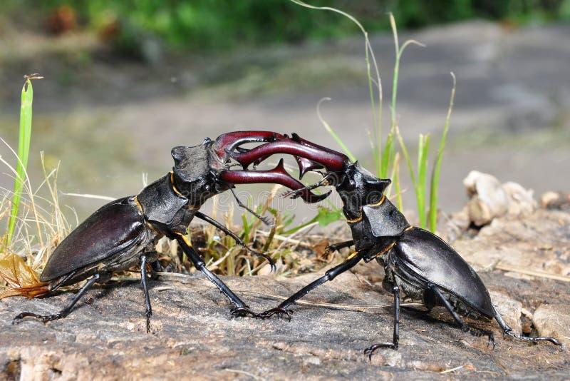 Luta do besouro de veado foto de stock
