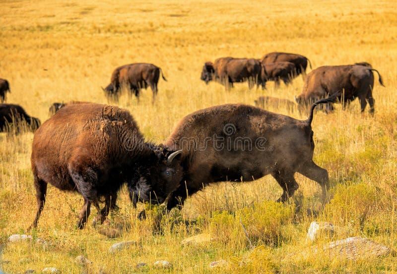 Luta do bisonte americano imagens de stock