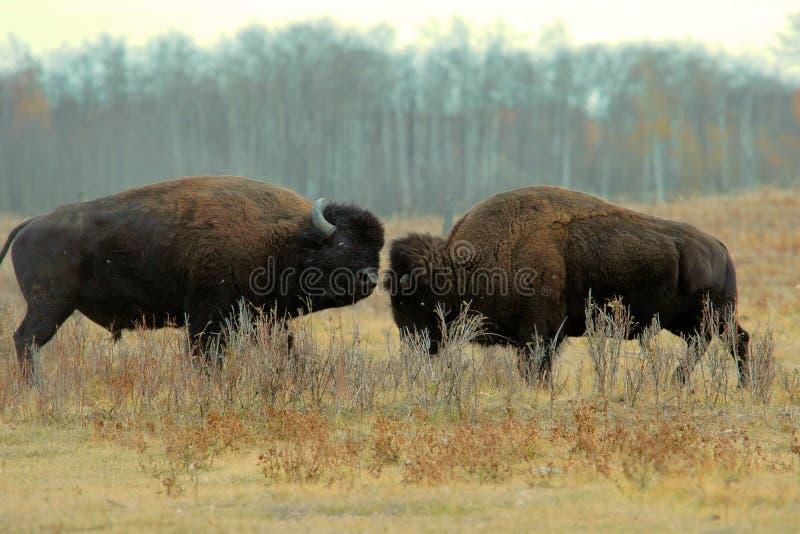 Luta do bisonte de Bull foto de stock