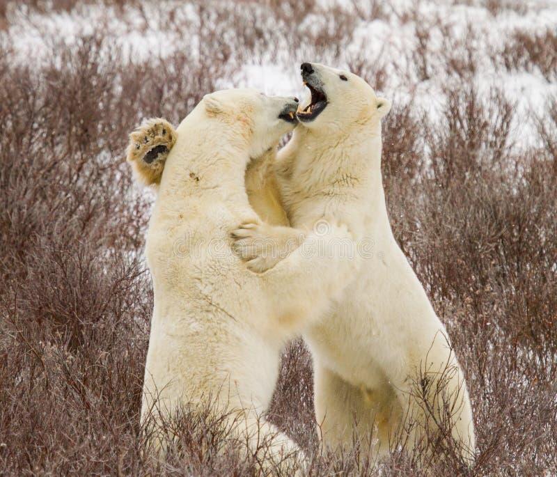 Luta do urso polar fotos de stock royalty free