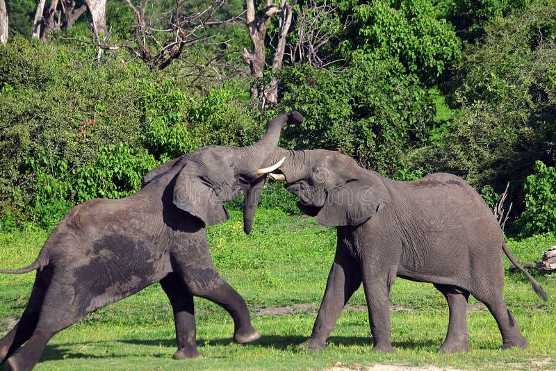 Luta dos elefantes imagens de stock royalty free
