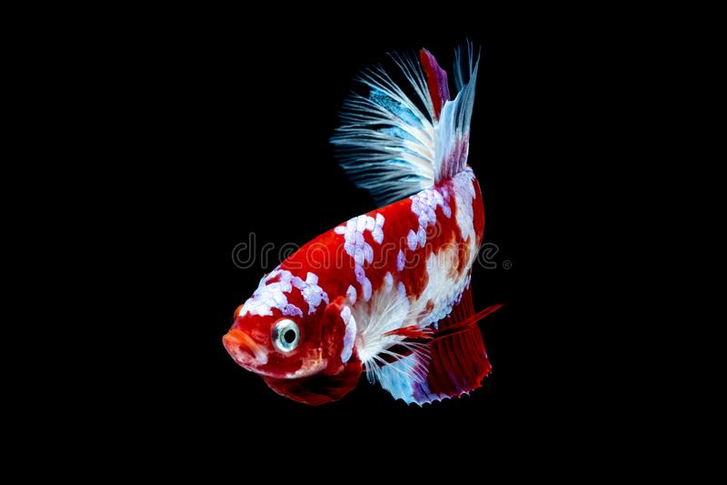Luta dos peixes de Betta no blackground do preto do aquário foto de stock royalty free