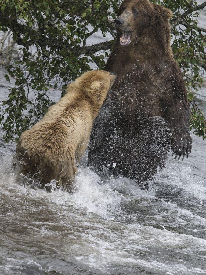 Luta dos ursos de Katmai Brown; Quedas dos ribeiros; Alaska; EUA fotografia de stock