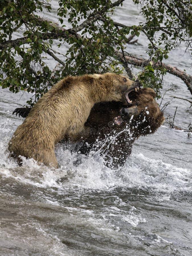 Luta dos ursos de Katmai Brown; Quedas dos ribeiros; Alaska; EUA imagens de stock royalty free